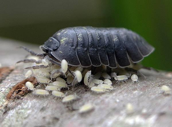 Что такое мокрица и как выглядит насекомое на фото?