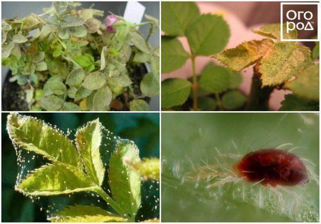 Паутинный клещ на комнатных растениях и цветах: как бороться с ним и избавиться надолго? русский фермер