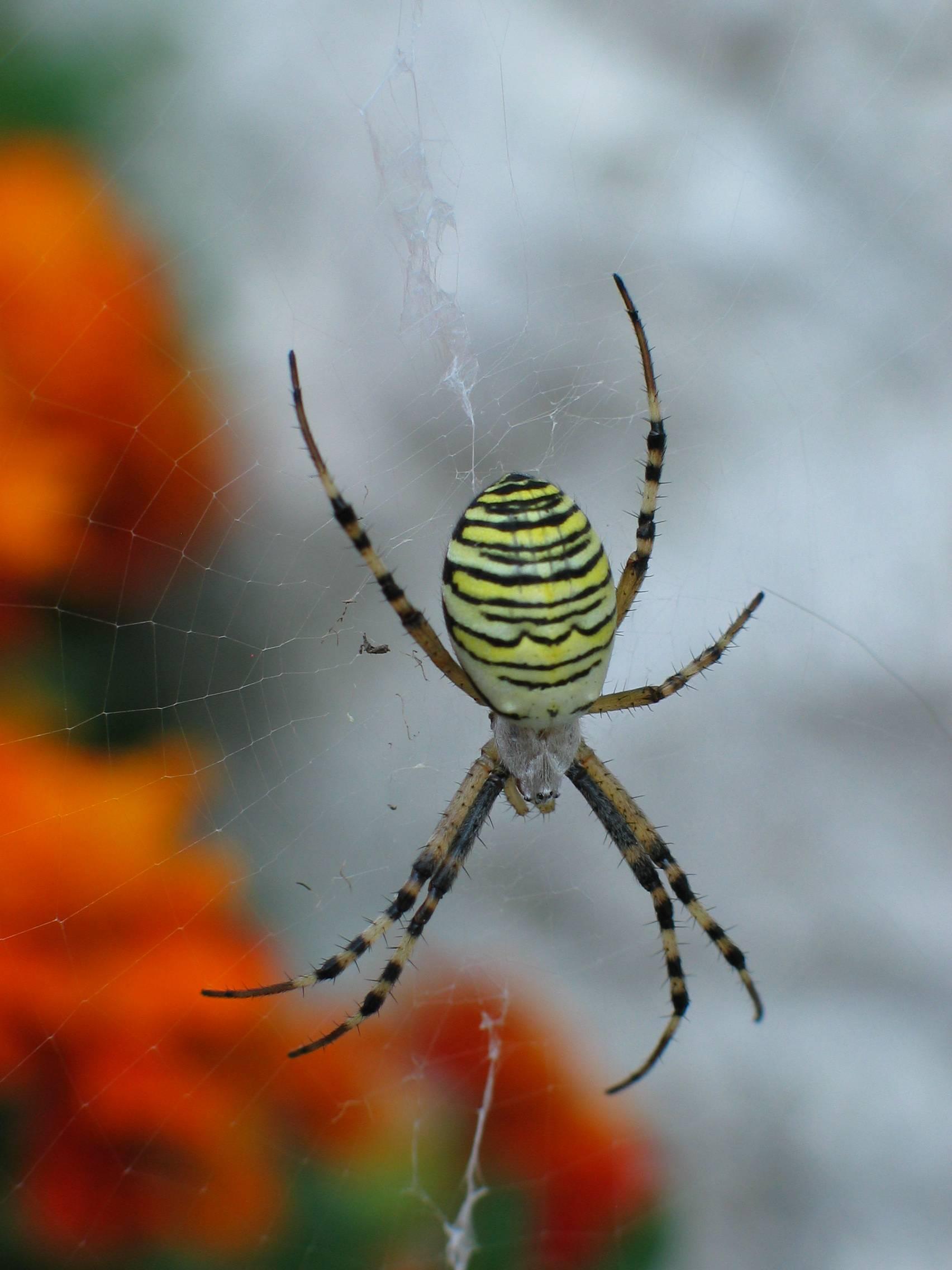 Паук-оса с желтыми полосками на спине