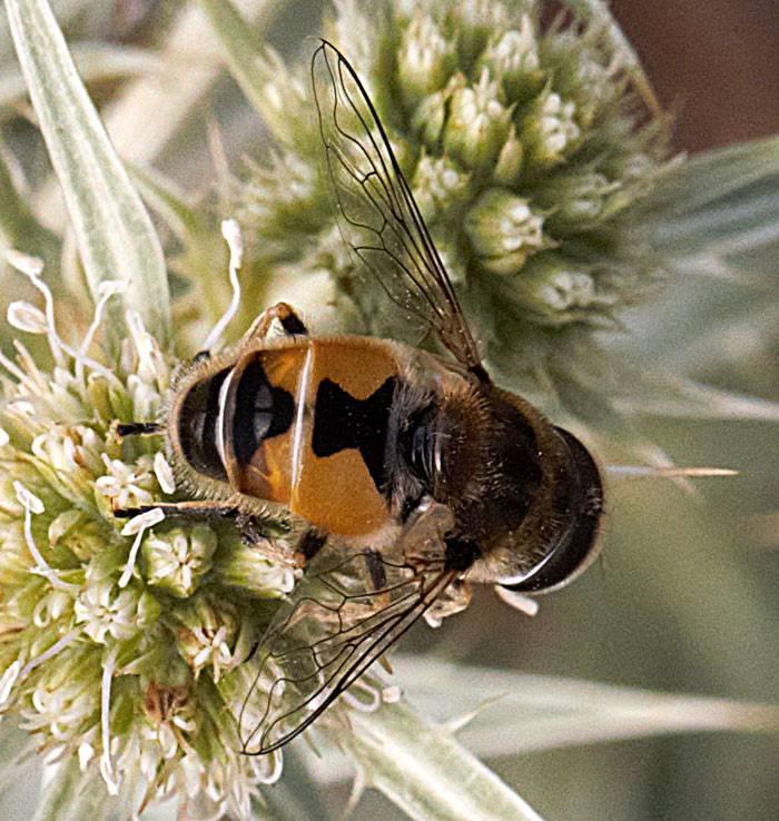 Полосатая муха, похожая на осу. журчалка – муха, похожая на пчелу на цветах часто встречаются мухи журчалки