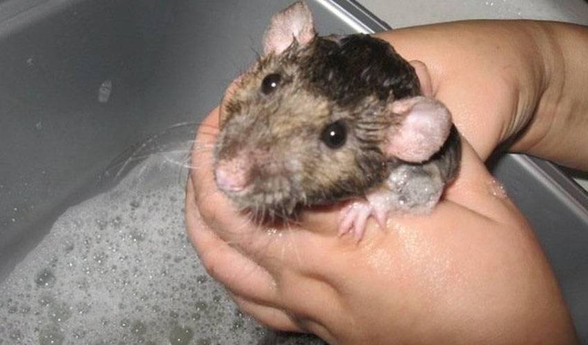 Крысы плавают в воде