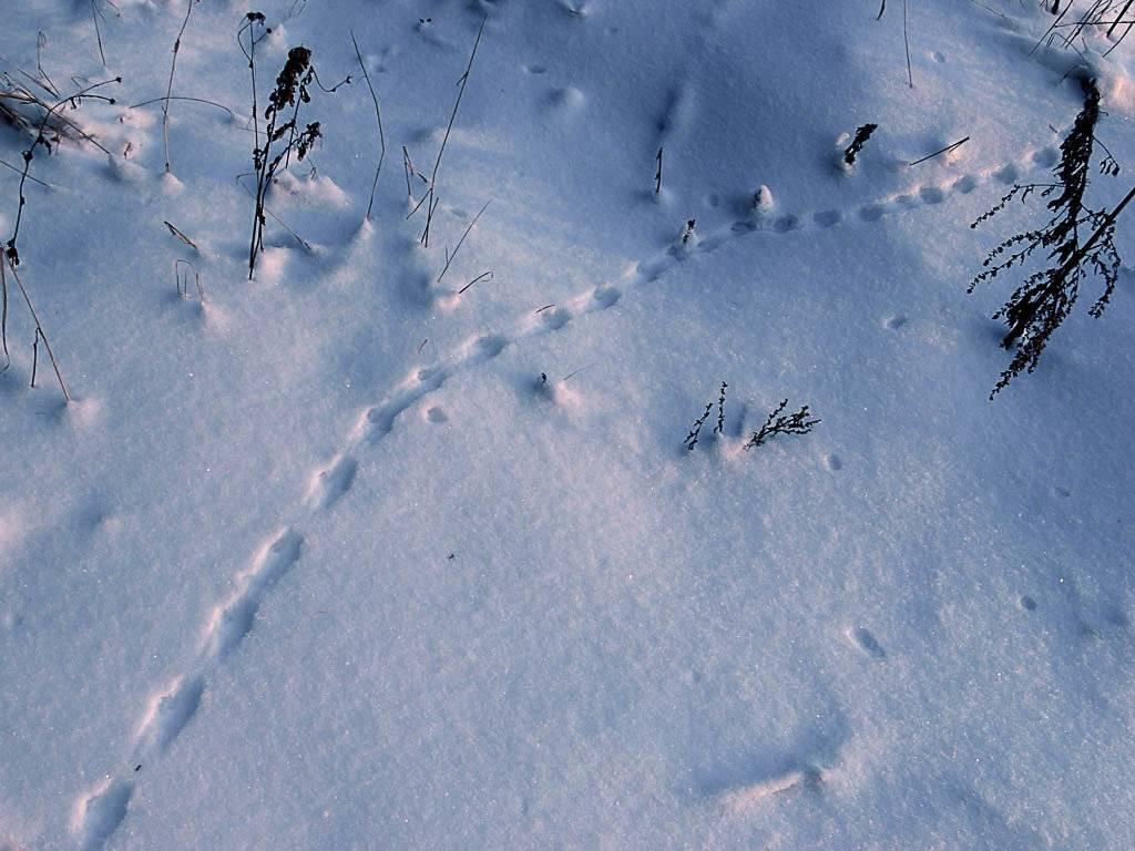 Как выглядят следы крысы на снегу?