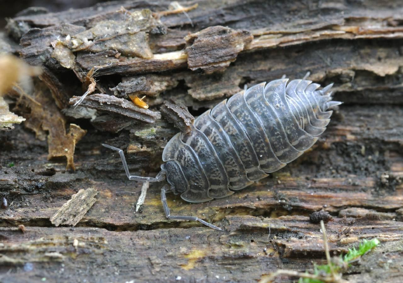 Чем опасны мокрицы для человека: кусаются ли они или нет, в чем вред этих насекомых, если они поселились в квартире? русский фермер