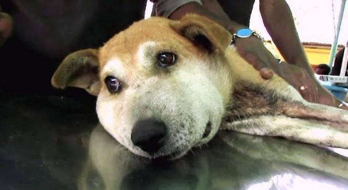 Что делать, если собаку укусила змея, симптомы укуса, первая помощь