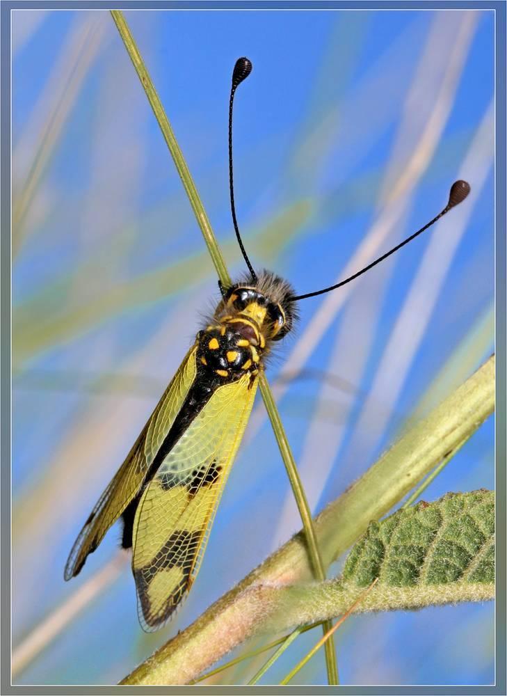 Аскалаф пестрый: описание насекомого и необычные факты из его жизни