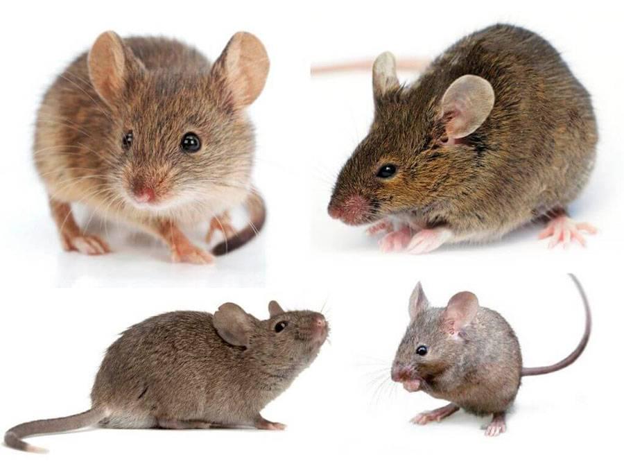 Виды и разновидности мышей с фото, названиями и описанием