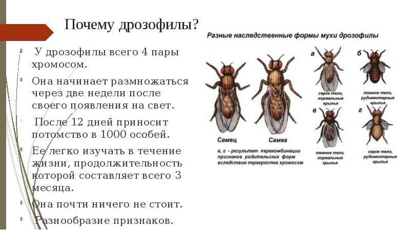 Сколько живут мухи. диапазон продолжительности их жизни