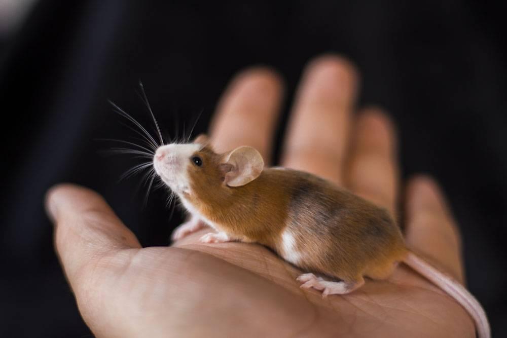 Белая мышь: особенности содержания 2021