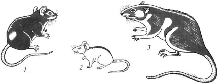 Дикие крысы