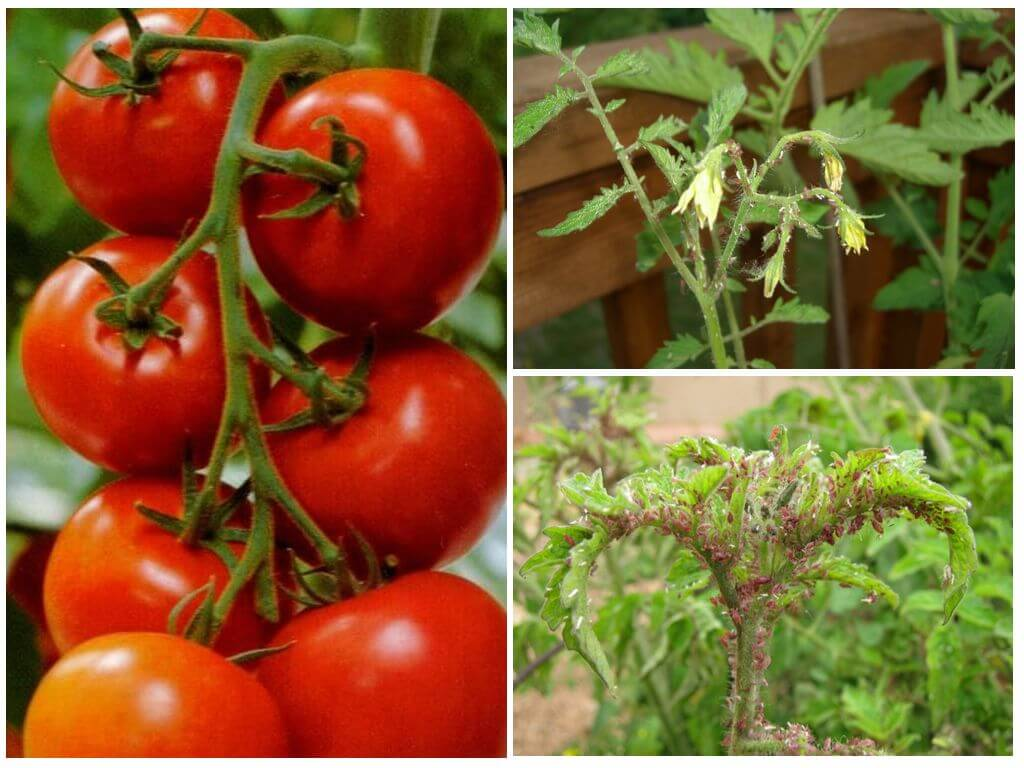 Белокрылка на томатах в теплице: методы борьбы, чем обработать от вредителя