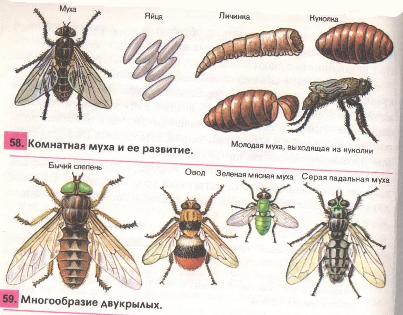 Классификация мух по видам