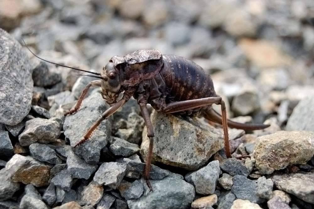 Ученые не могут объяснить, почему эти насекомые прыгают