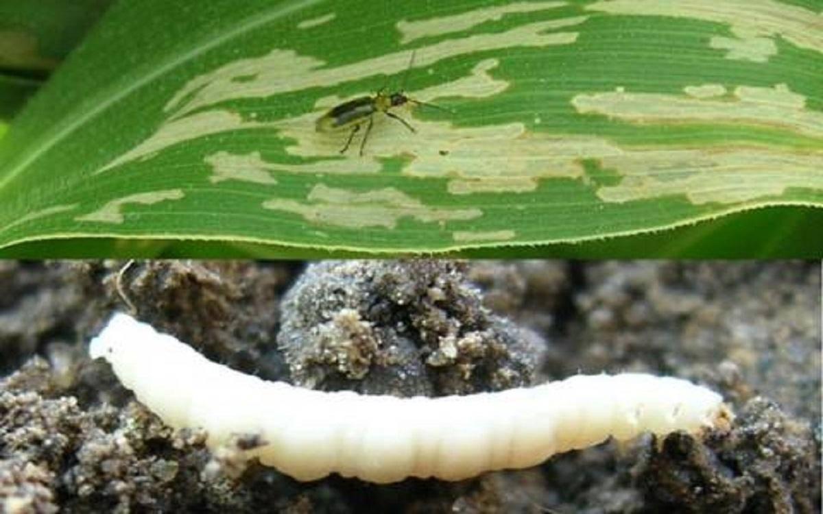 Поля в запорожской области атаковали кукурузные мотыльки: в чем опасность