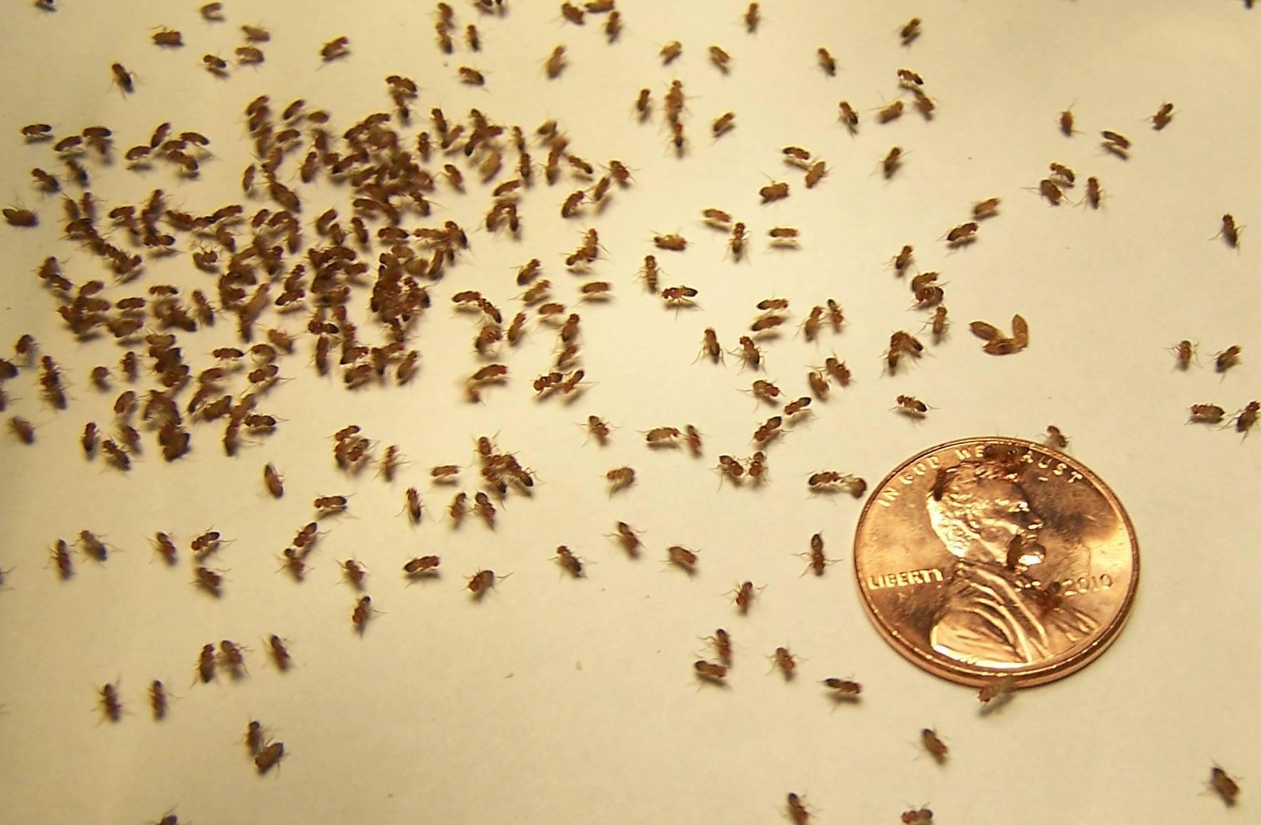 Как избавиться от мелких мушек в квартире или доме