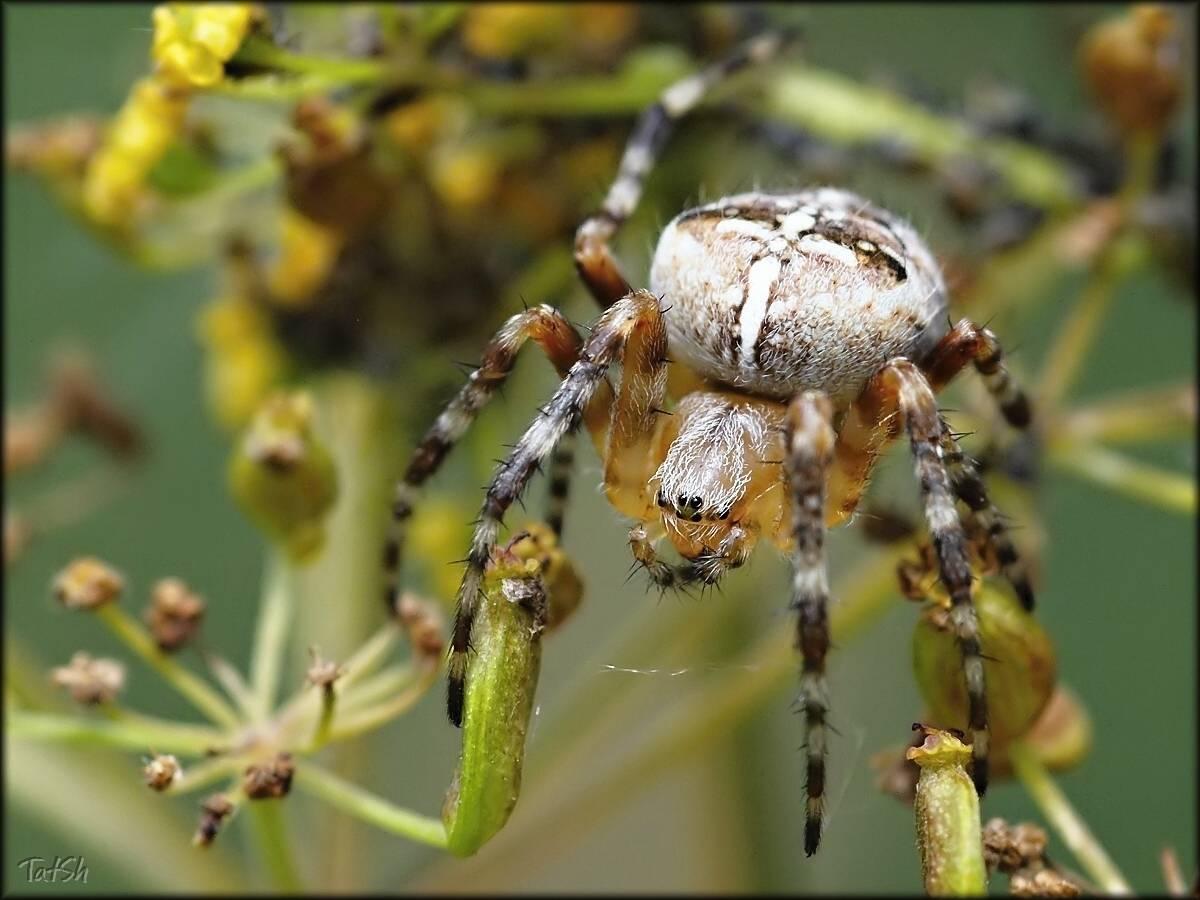 Коричневый паук отшельник: как выглядит и чем опасен для человека