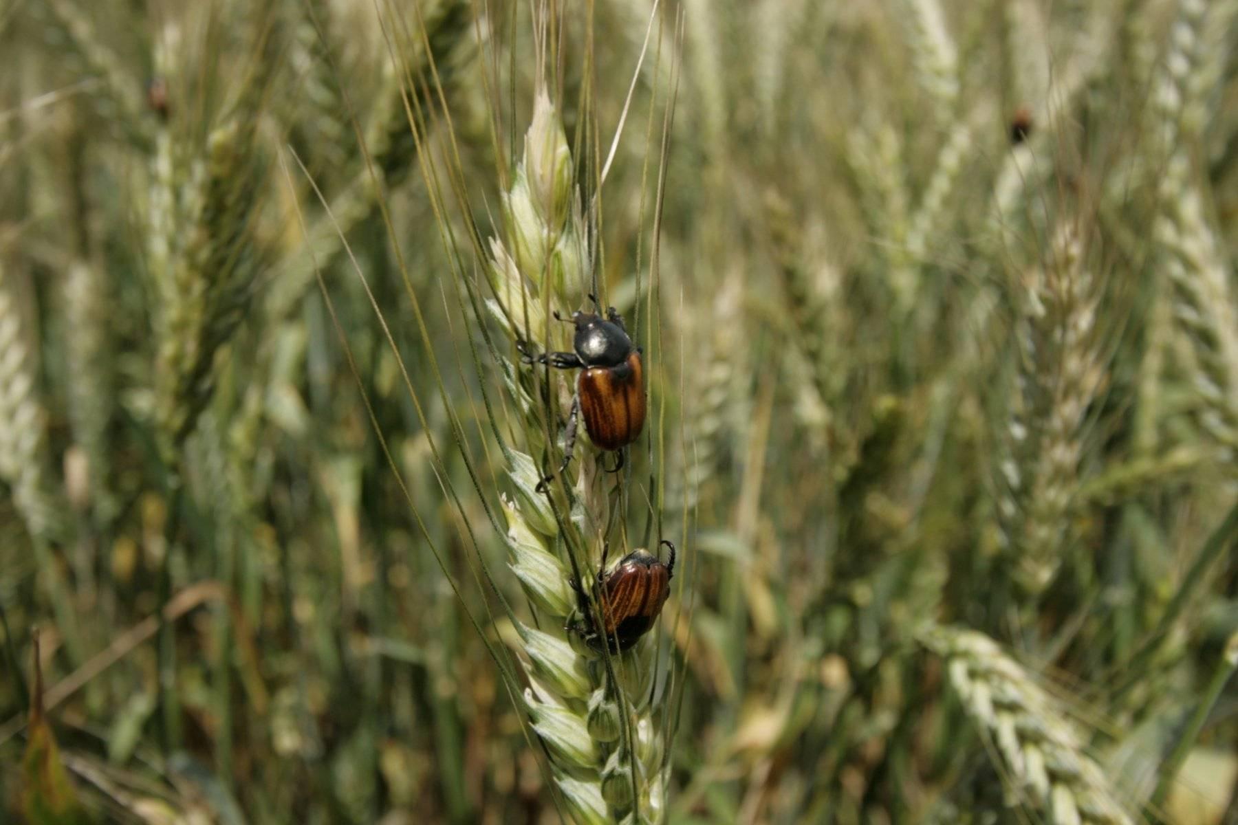 Вредители пшеницы, ржи, ячменя и овса
