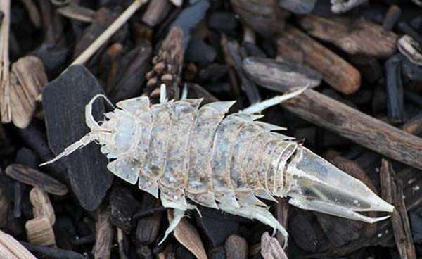 Креветки — это морские тараканы