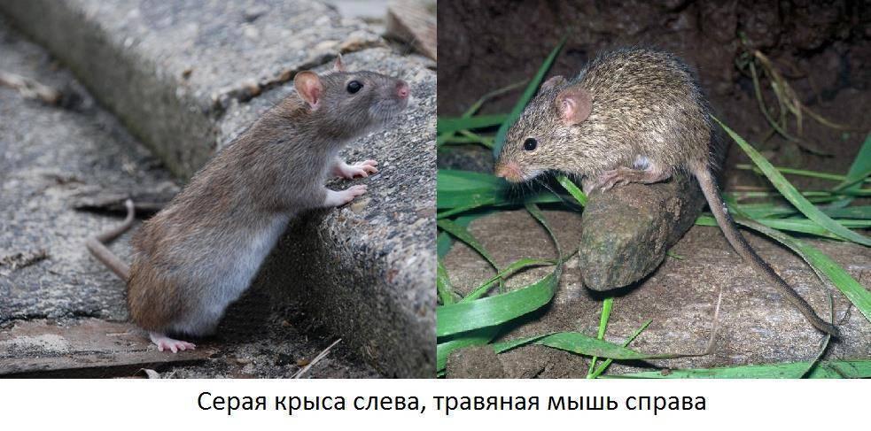 Как отличить мышь от крысы: внешние признаки грызунов, в чем разница.