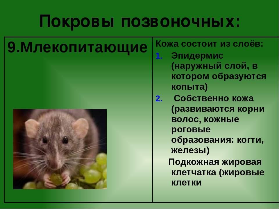 Лабораторные мыши, особенность вида, для чего выведены и можно ли держать их дома 2021
