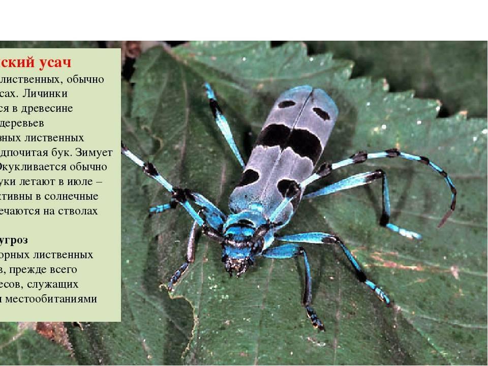 Жук дровосек. описание, особенности, виды и среда обитания жука дровосека