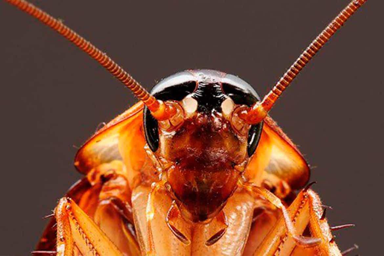 Сколько может прожить таракан без головы