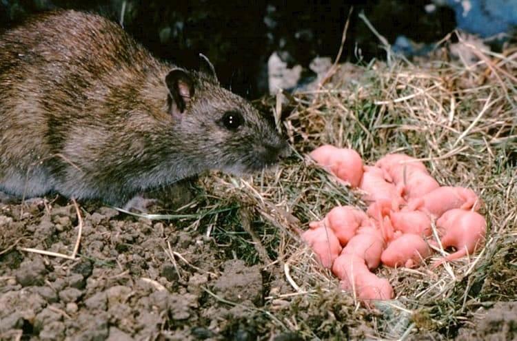 Крысы: описание, виды, что едят, сколько живут декоративные крысы