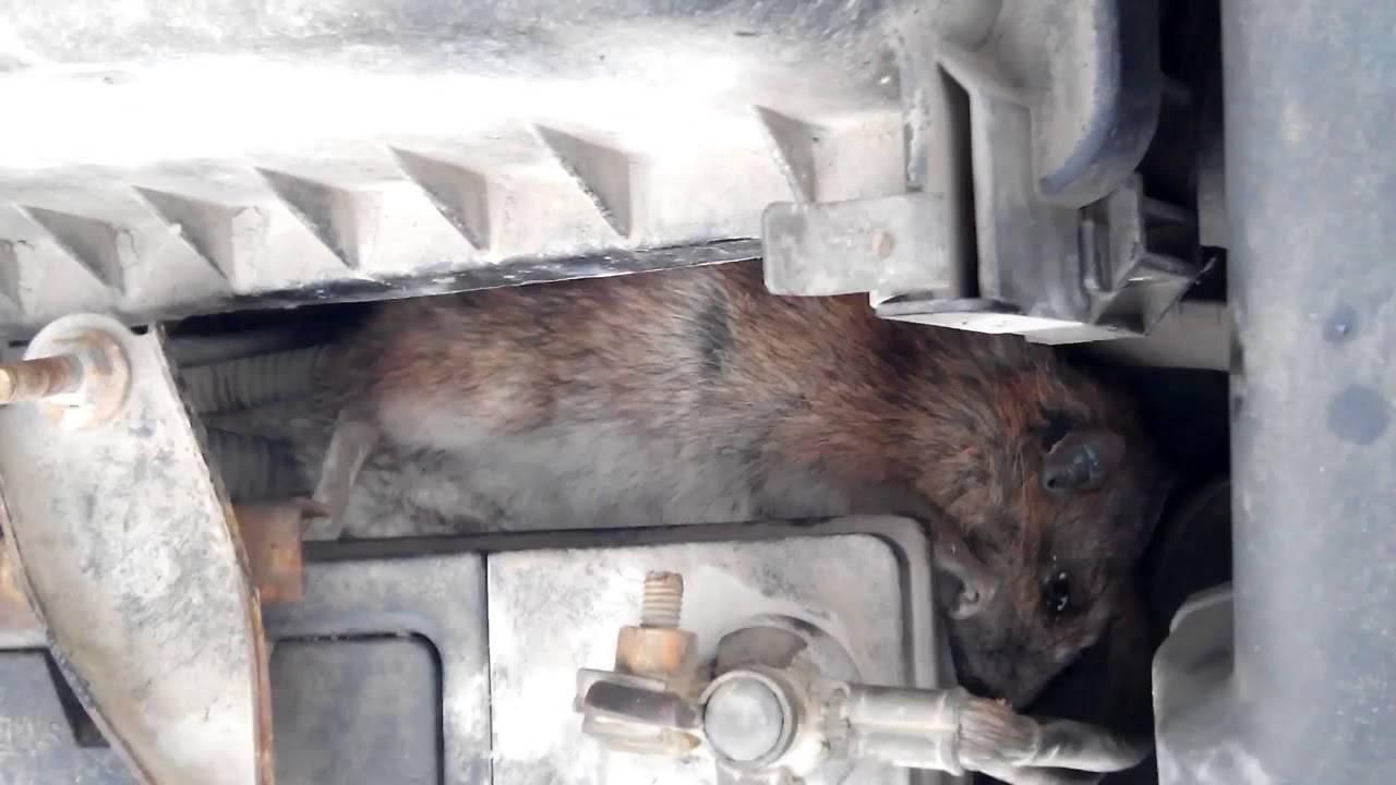 Как избавиться от крыс в гараже: лучшие методы и народные средства
