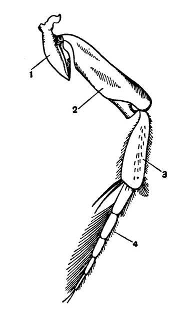Сколько ног у таракана?