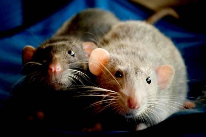 Какие запахи не любят мыши, как правильно использовать растительные отпугиватели  2021