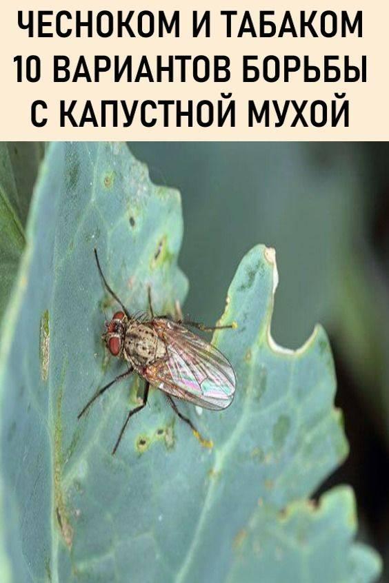 Лучшие методы борьбы с капустной мухой
