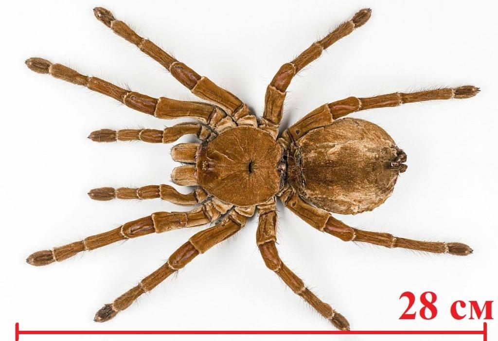 Каковы размеры, самого страшного паука Птицееда голиафа?