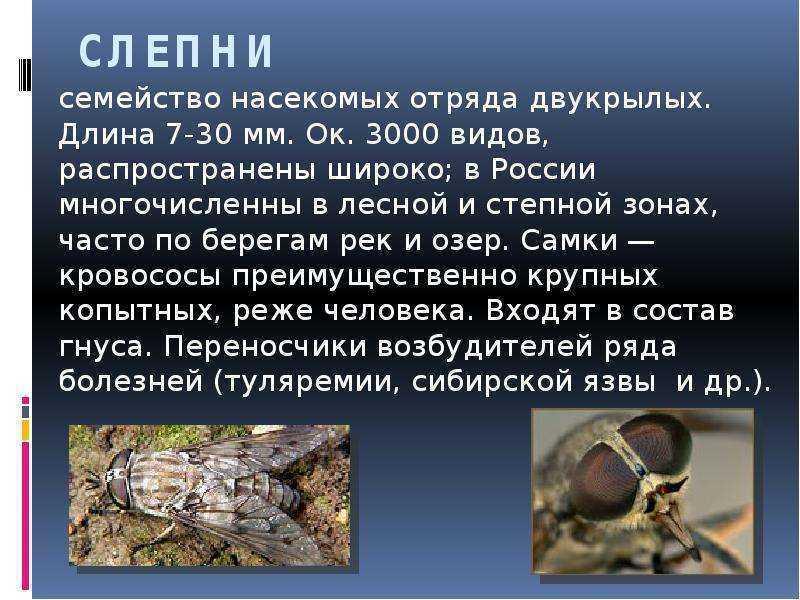 Слепень - особенности и базовые отличия от похожих насекомых (80 фото)