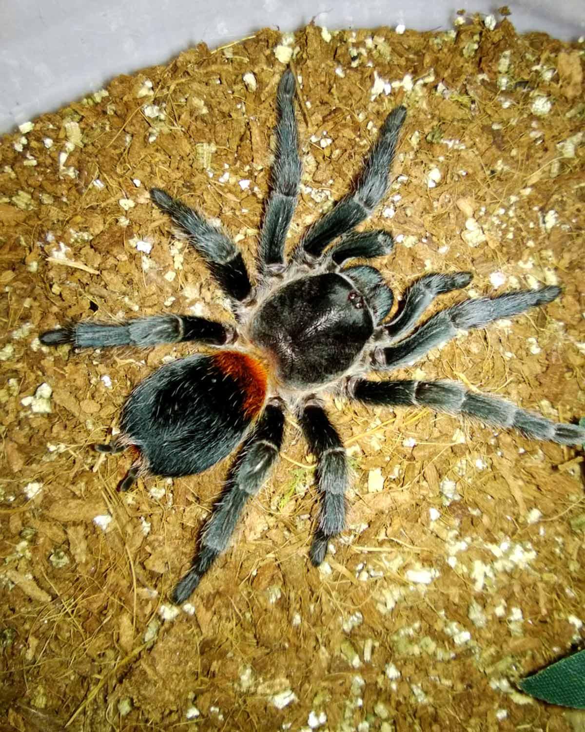 Паук тарантул – особенности содержания в домашних условиях, интересные факты о членистоногом
