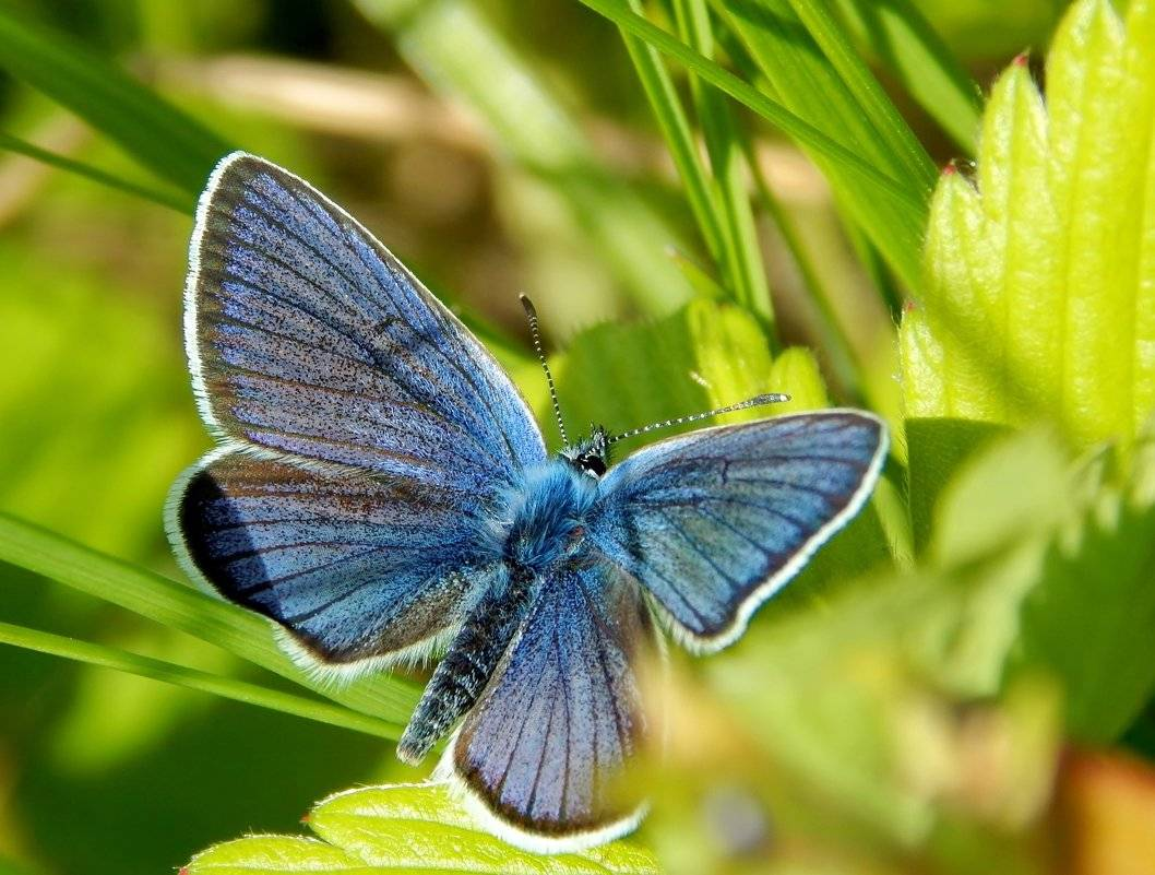 Бабочка голубая ленточница | мир животных и растений