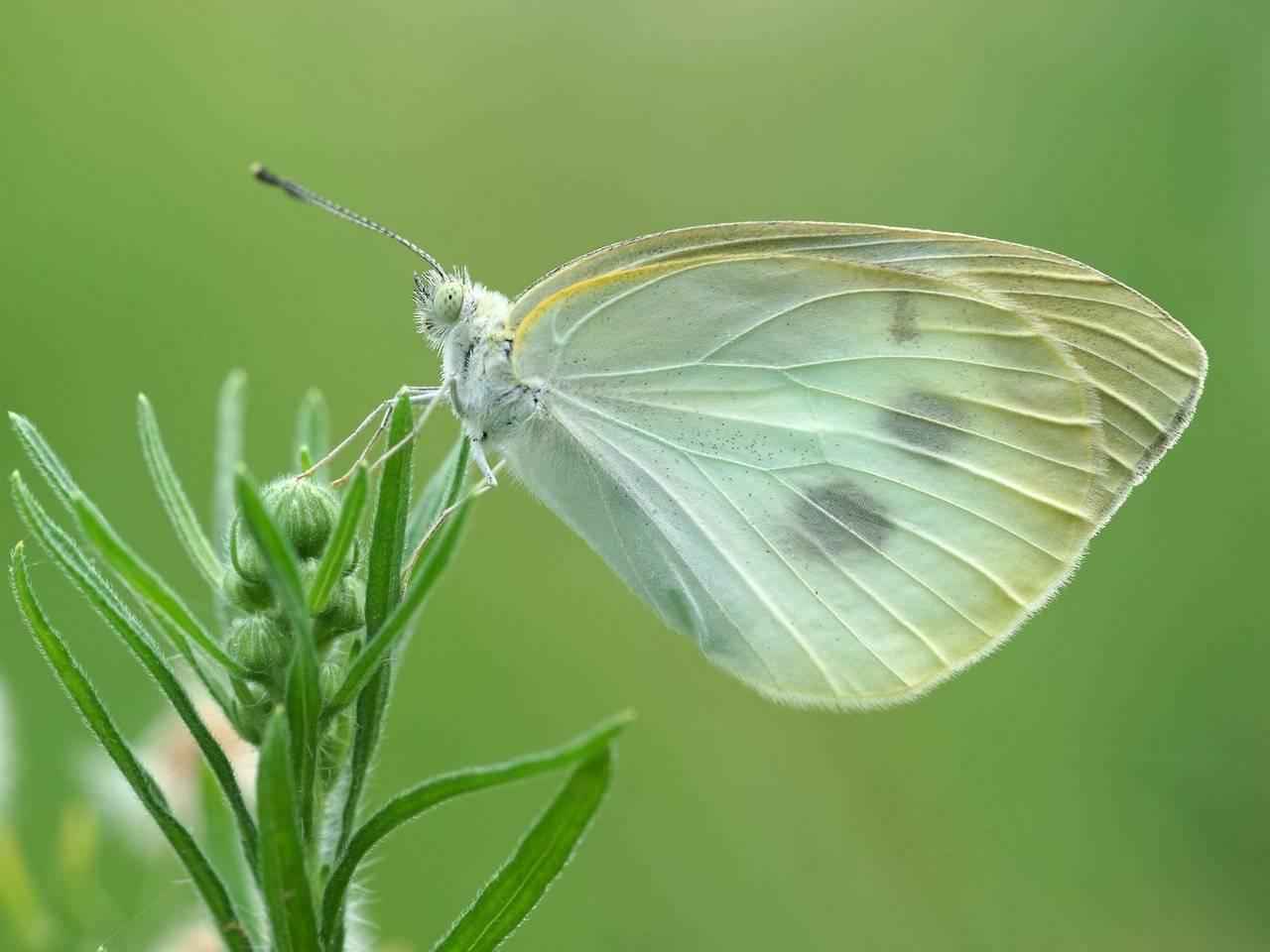 Капустница (капустная белянка): бабочка, уничтожающая урожай