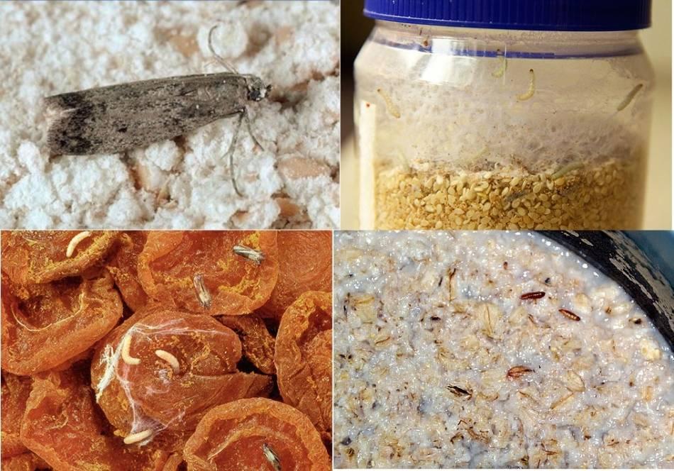 Зерновая или пищевая моль: как избавиться, эффективных способы