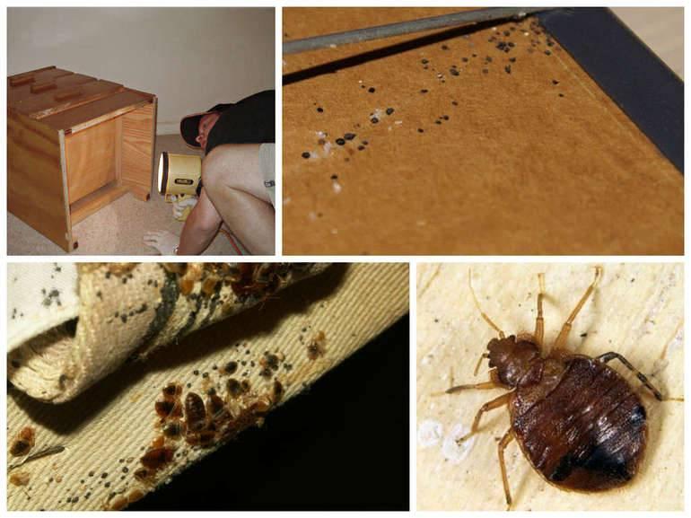 Кожеед в квартире: фото и описание жука, способы избавления от вредителя