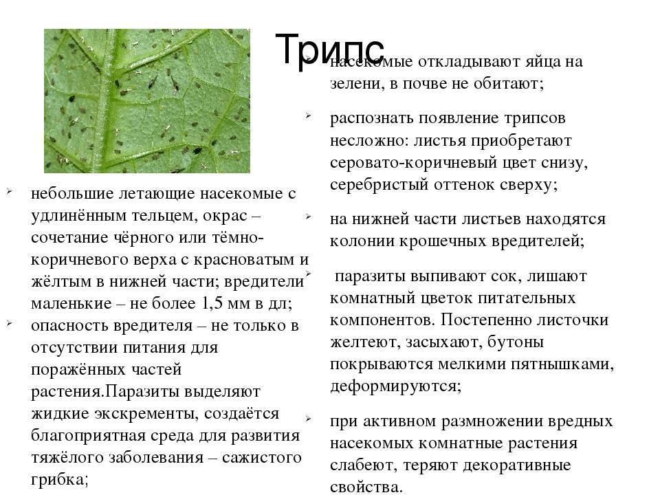 Трипсы на комнатных растениях — методы избавления