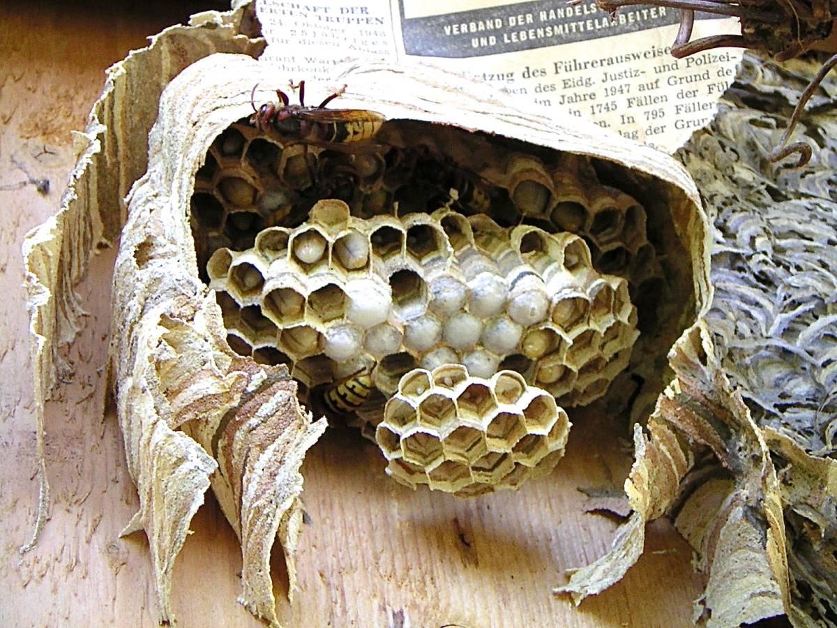 Как устроено гнездо осы, и каким образом оно используется в медицине? существует ли осиный мед