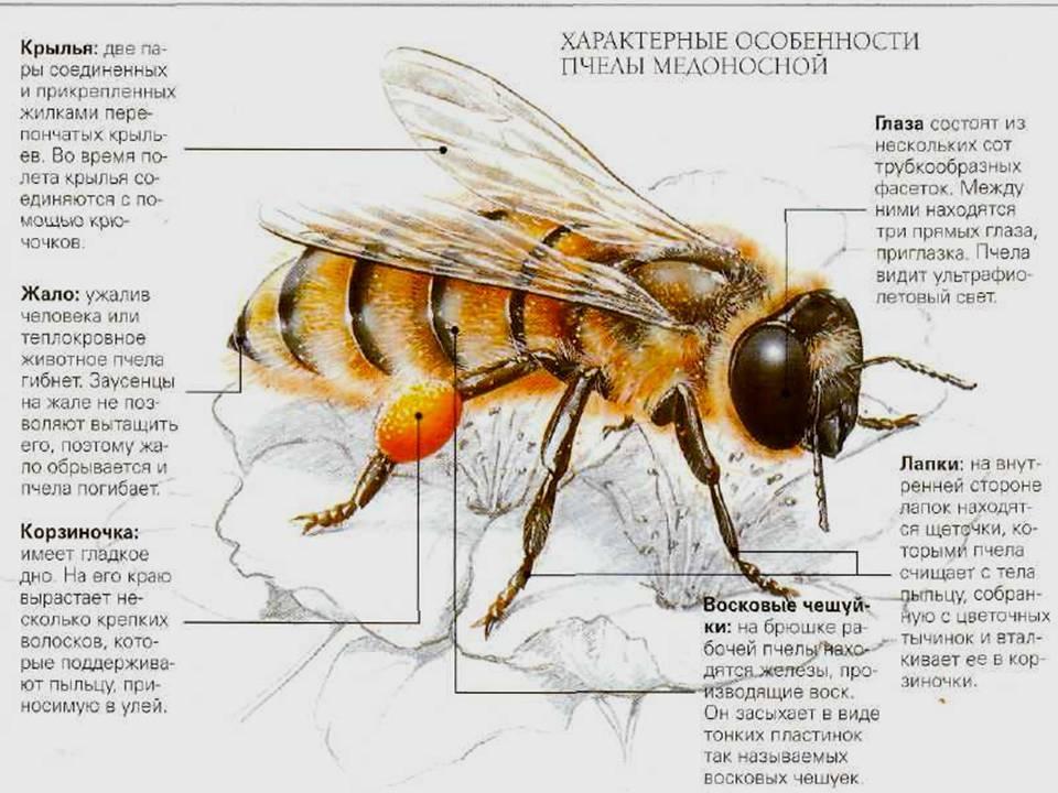 Медоносная пчела: строение тела, классификация, особенности содержания и фото