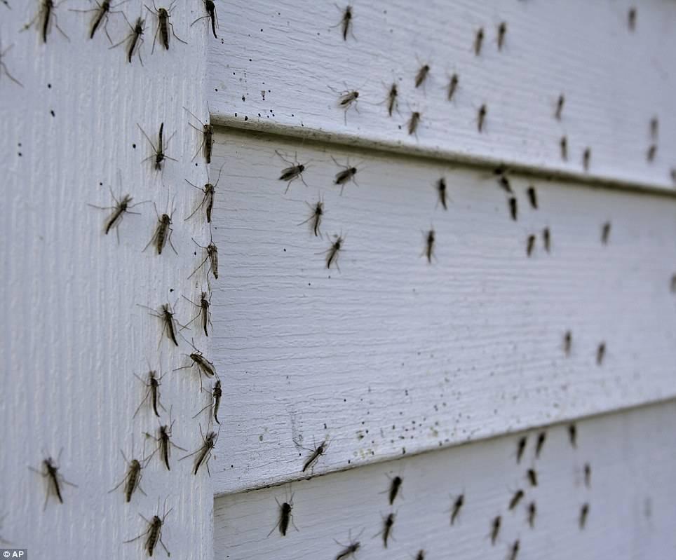 Как высоко летают комары и мухи