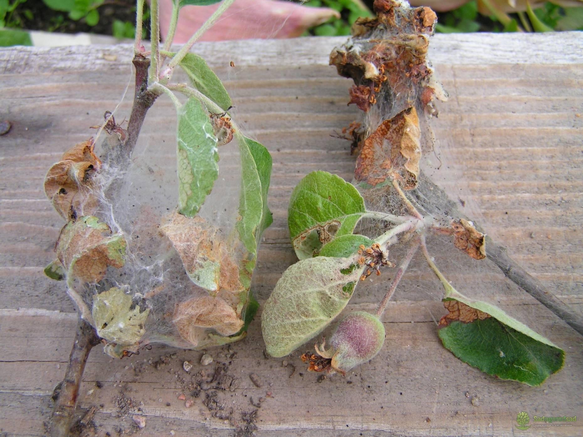 Вредители яблонь: описание с фотографиями, способы лечения