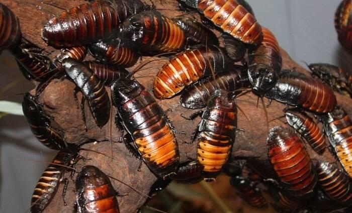 Сколько живут тараканы без воды, еды или головы