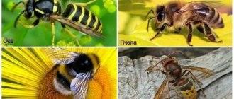 Отличия осы от пчел и шмеля