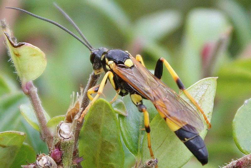 Большое насекомое похожее на осу с длинным телом: фото и название
