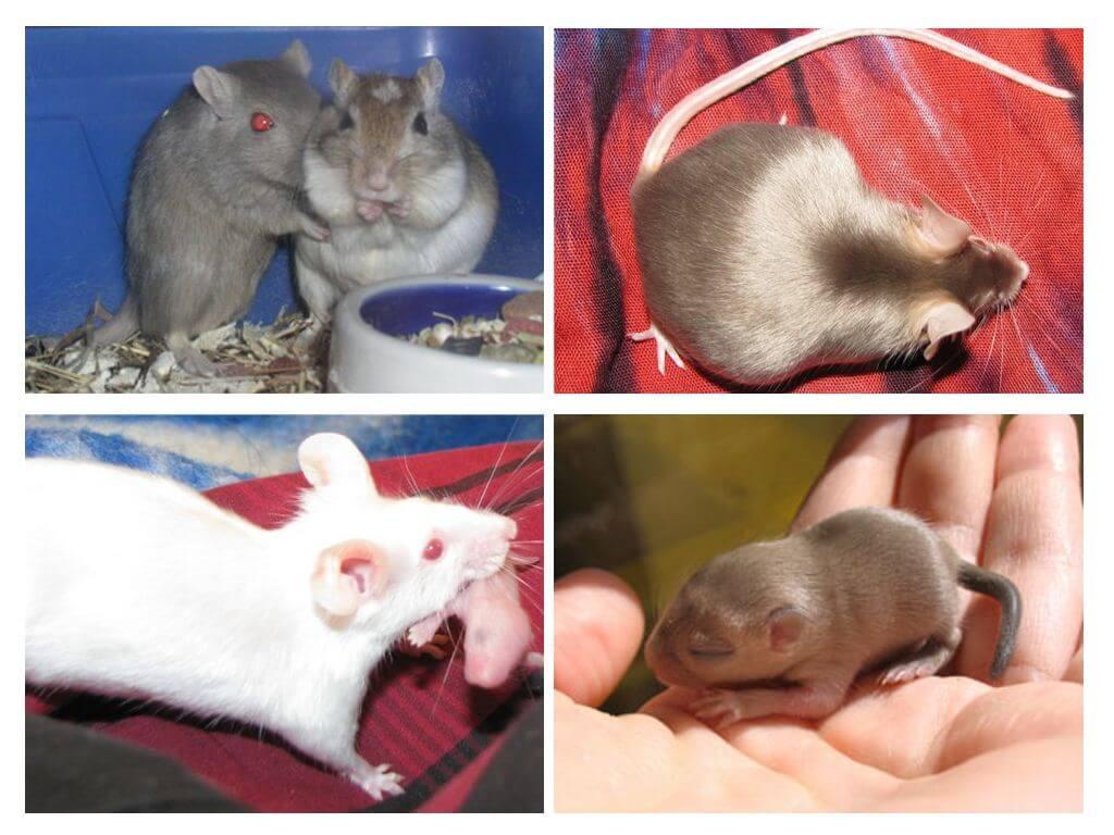 В норке живёт, корку грызёт... что мы знаем про мышей и крыс