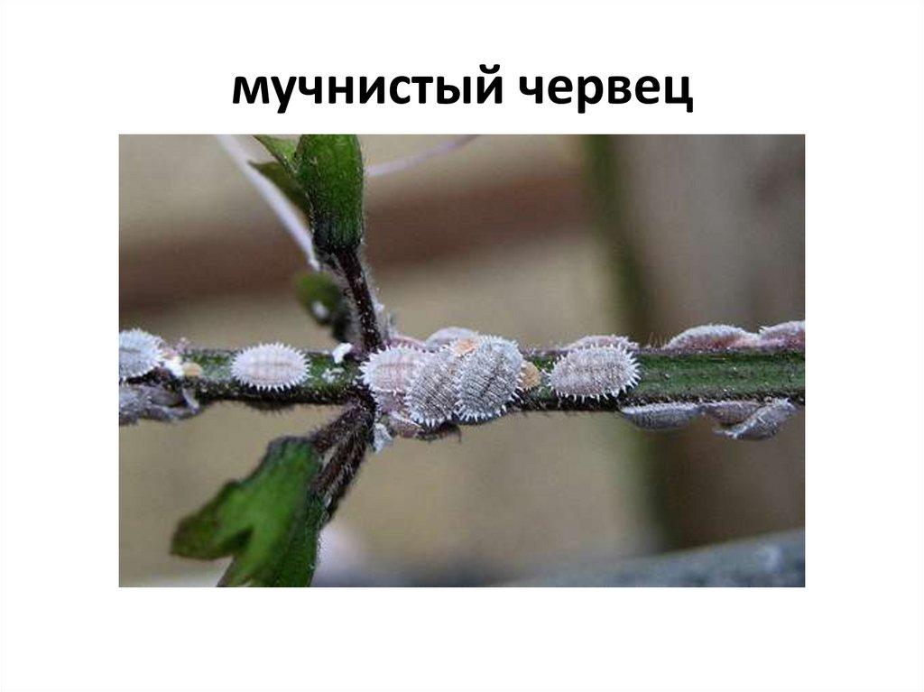 Мучнистый червец - как бороться на комнатных растениях, фото, виды. корневой червец - описание, меры борьбы