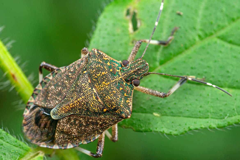 Враги клопов: насекомые и животные