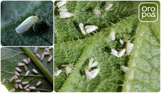 Белокрылка – чем опасны насекомые и методы борьбы с ними