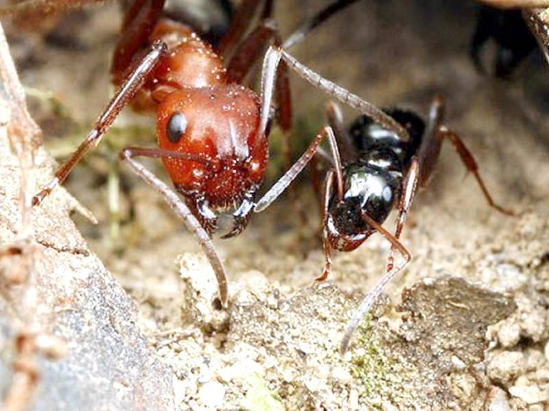 Стрекозы против муравьёв